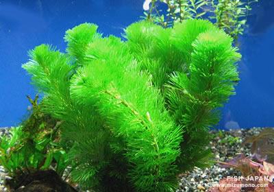金魚水草4