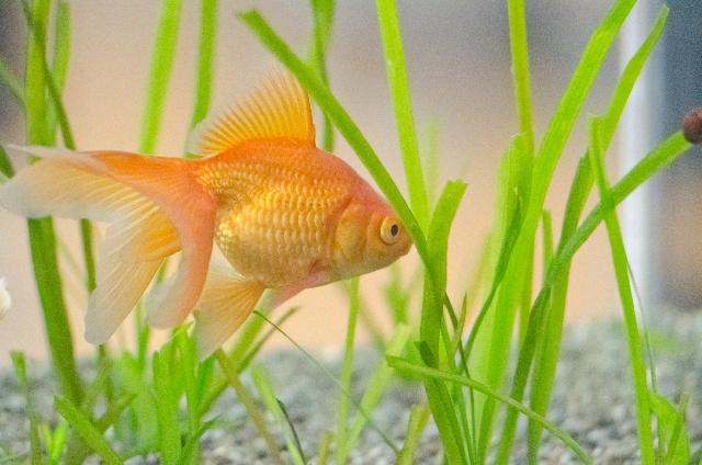 金魚水草2