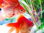金魚と水槽